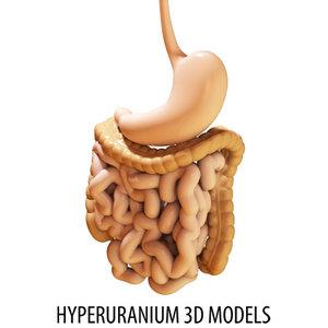 3d digestive intestine duodenum model