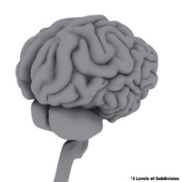 3d model think brain brainstem