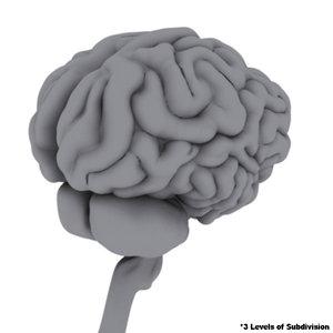 3d model think brain brainstem