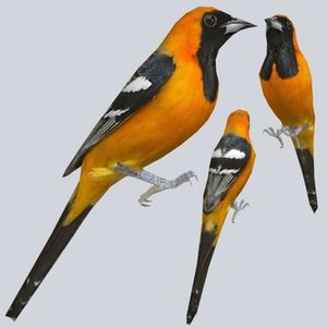 3ds hooded oriole
