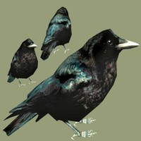 american crow 3d max