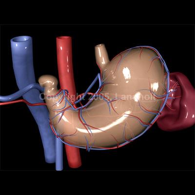 anatomically stomach 3d ma