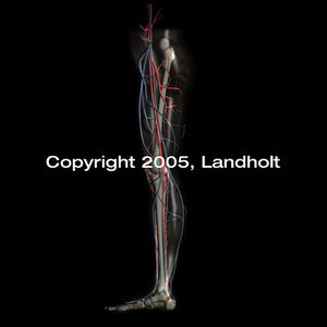 anatomically human leg 3d model