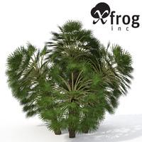 XfrogPlants Mediterranean Fan Palm