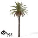 XfrogPlants Canary Date Palm