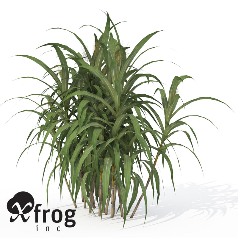 sugar cane plant 3d model