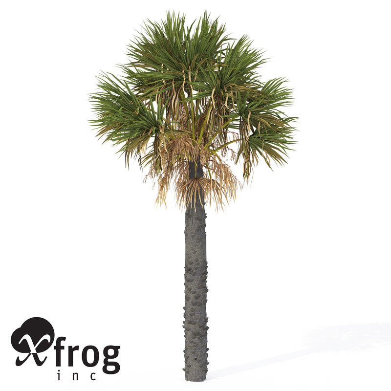 maya xfrogplants palmetto palm plant