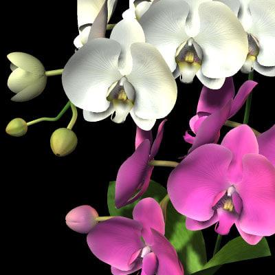 3d model phaleanopsis kotyouran