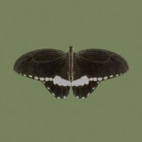 maya butterflies wings