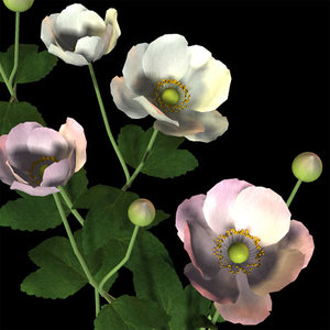 anemone japonica syumeigiku 3d model