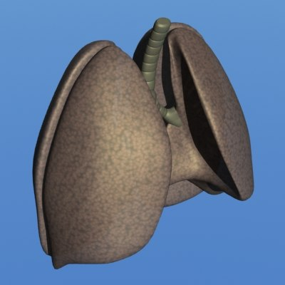 3d model human lungs