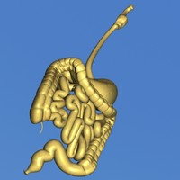 human throat stomach 3d model
