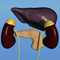 human liver kidneys pancreas 3d model