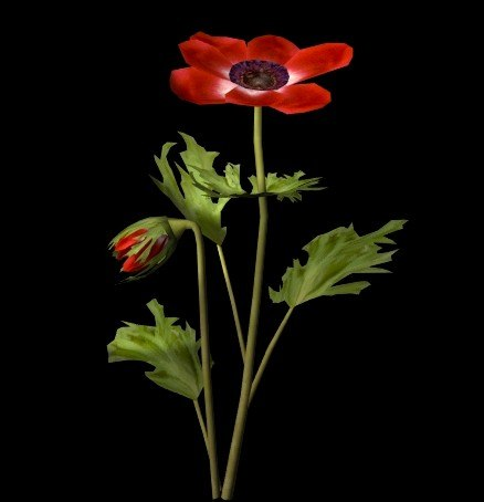 3d flower anemone coronaria model
