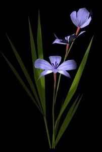 lightwave flower babiana stricta