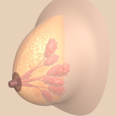 breast section anatomy 3d model