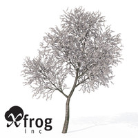 xfrogplants blossoming sour cherry tree max