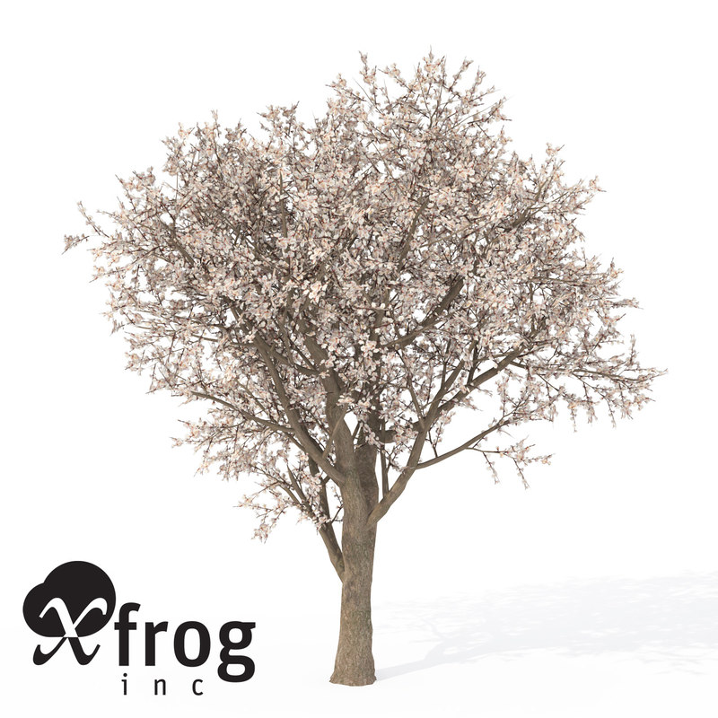 3d model xfrogplants blossoming apricot tree