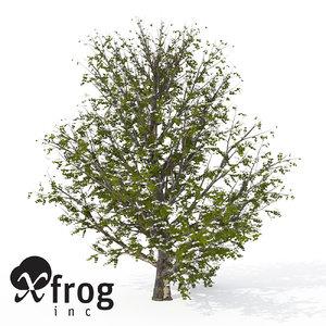 3d model xfrogplants blossoming kousa dogwood tree