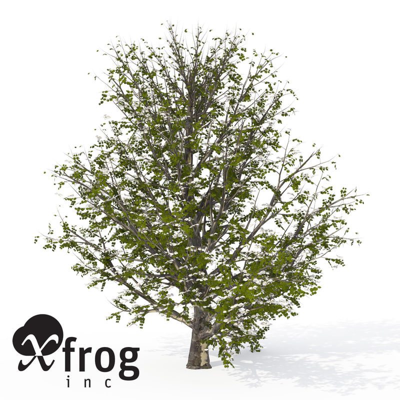 3d model xfrogplants blossoming kousa dogwood tree