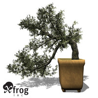 XfrogPlants Bonsai Olive Tree