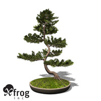 XfrogPlants Bonsai Scotch Pine