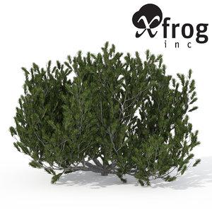 3d xfrogplants mugo pine shrub