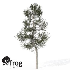 3d model xfrogplants austrian black pine