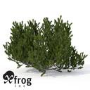 XfrogPlants Mugo Pine EU