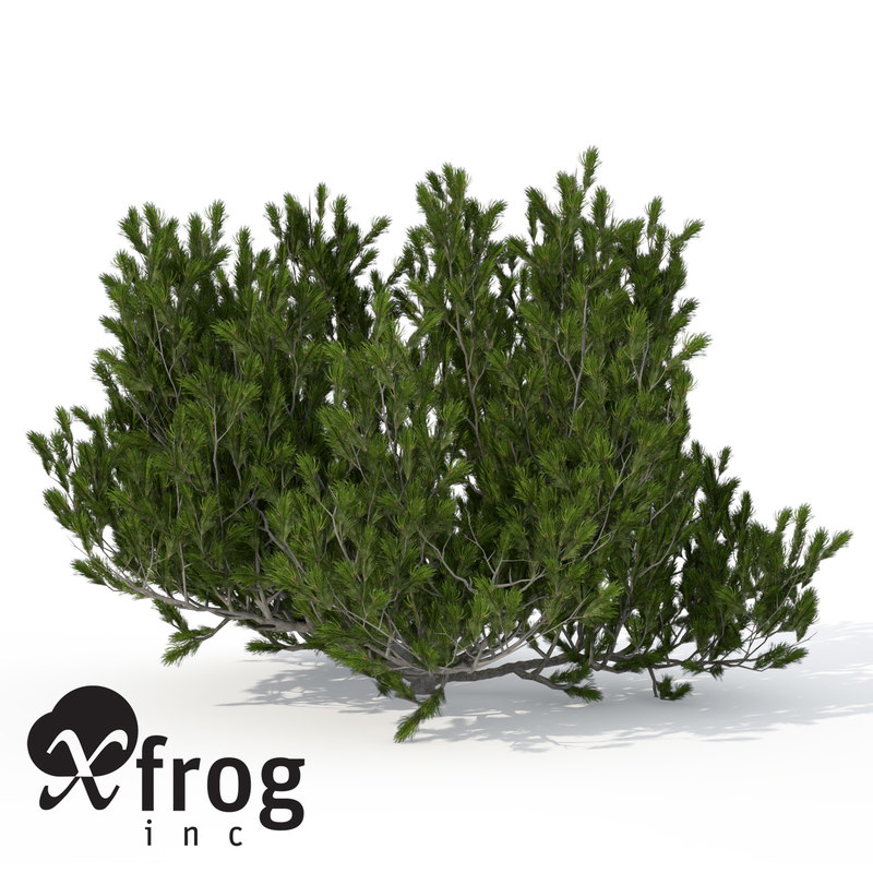 xfrogplants mugo pine shrub 3d model