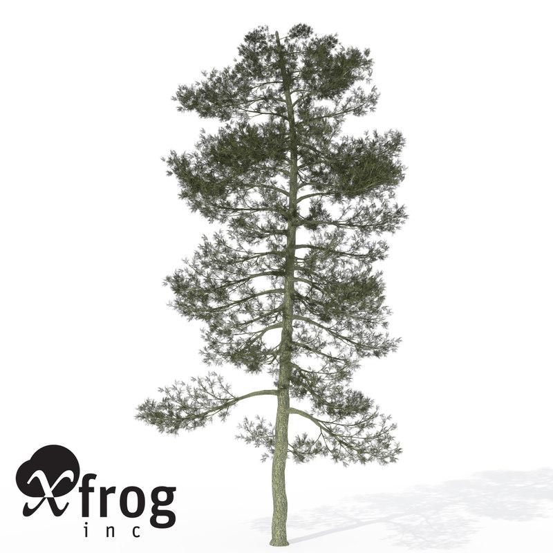 3d model xfrogplants bishop pine tree