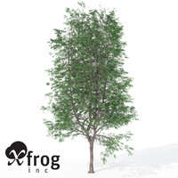 XfrogPlants Kentucky Coffeetree