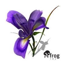 XfrogPlants Dutch Iris