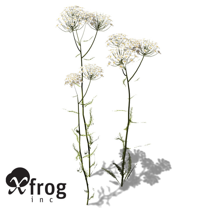 xfrogplants common yarrow plant max