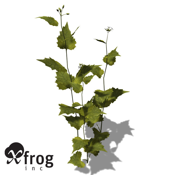 3d model xfrogplants garlic mustard herb