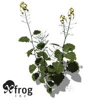 XfrogPlants Brassica Napus