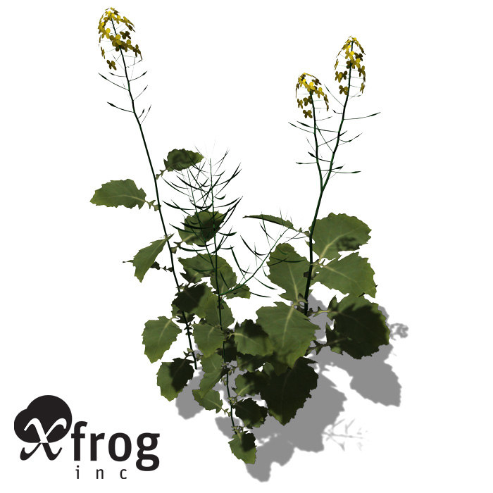 3d model xfrogplants brassica napus plant