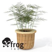 XfrogPlants Asparagus Fern