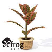 XfrogPlants Croton Petra