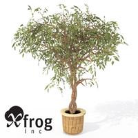 3dsmax xfrogplants benjamin ficus plant