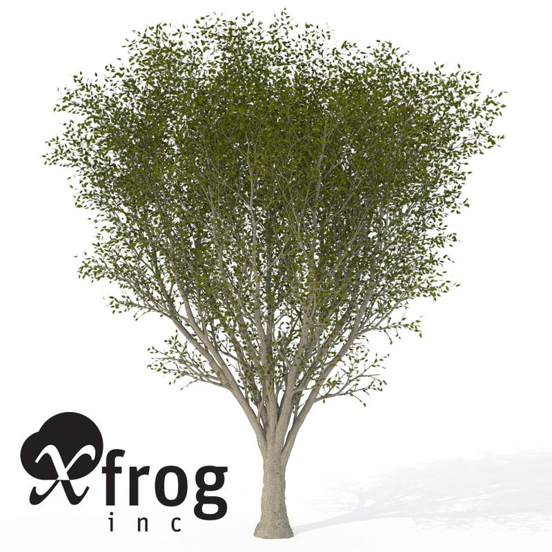 maya xfrogplants japanese zelkova tree
