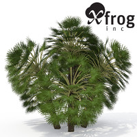 XfrogPlants Mediterranean Fan Palm