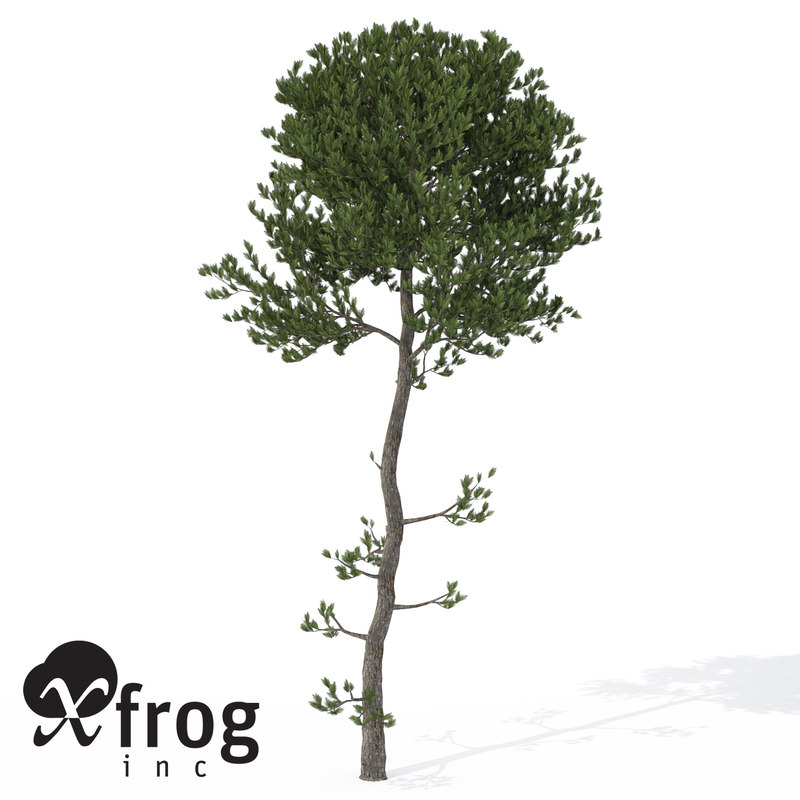 3d xfrogplants sea pine tree model