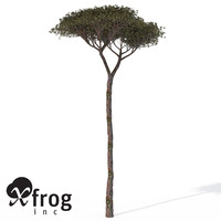 XfrogPlants Italian Stone Pine