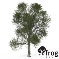XfrogPlants Turkey Oak