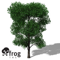 XfrogPlants Holm Oak