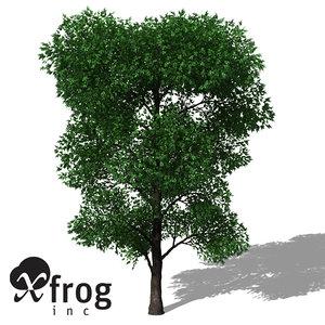 max xfrogplants holm oak tree