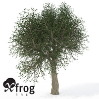 max xfrogplants cork oak tree