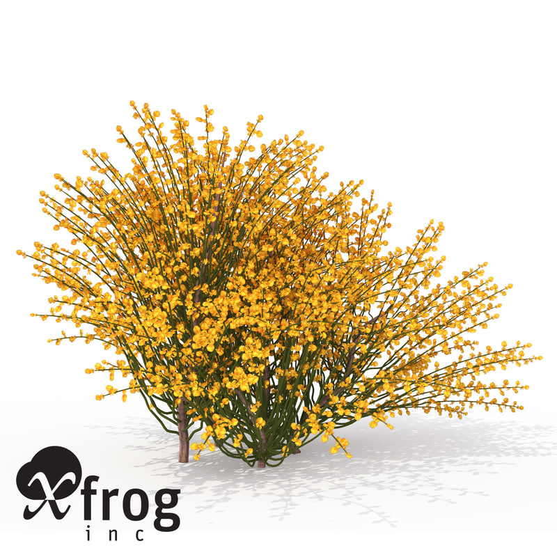 3d xfrogplants spanish broom shrub model