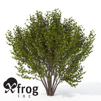 xfrogplants hazel shrub tree plant 3d model